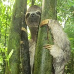 Our guide, Wimper, gently helped the sloth back to this tree