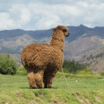 Alpaca wool is prized for its texture and feel -- it doesn't cause people who wear it to itch like wool often does