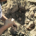 Potatoes are removed from an earthen oven