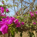 Bouganvillea flowers flourish in the warm sunshine outside the hospital