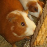 Several of the family's cuy (guinea pigs)