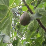 Figs grow on a tree outside her house
