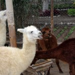 Archaeologists have found evidence such animals as alpaca where kept at Huaca Pucllana.