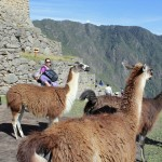 Lauren, Becca and Landon wander amid the llamas at Machu Picchu.