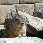 A vischacha pauses at Machu Picchu. The small rodent-like animal is related to the chinchilla, but looks like a rabbit.