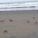 Crabs move quickly away from people at Kawai and take shelter in holes they have dug in the sand.