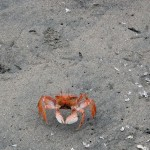 A scrappy crab holds its ground.