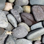 A tiny crab washed ashore on the rocky coastline.