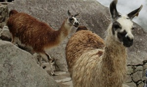 Oblivious to tourists, llamas make their way down a trail.