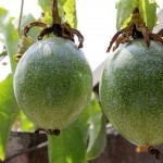 Maracuya or passion fruit.