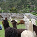 Dean gets up close and personal with alpacas.