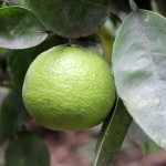 A lime ready for harvest.