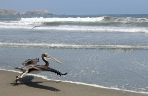 The pelican takes flight.
