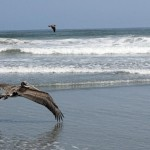 The pelican skims over the water.