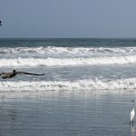 The pelican searches the waves.