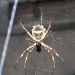 The large spider that Alejandro photographed.