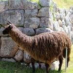 Real llamas still roam the grounds