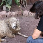 Joel greets the Kimo campground's pet sheep.