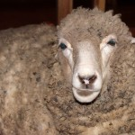 The Kimo camp's pet sheep. Its name is Virginia.