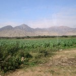 Cornfields seem out of place as we drive into the city of Caral.