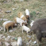 Duane captured a photo these little pigs with their mother from the bus - alongside the road - while traveling to Ollantaytambo.