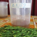 Aniz or Anise, is a popular tea in Peru.