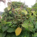 A quito quito plant (or naranjilla), growing in Lydia's back garden. We enjoyed juice from the fruit during lunch.