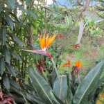 Birds of Paradise in Oxapampa.