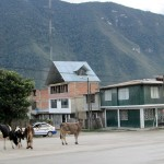 Cows on the main road through Oxapampa. The town is well known for its cheese and yogurt.