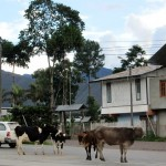 Cows wandered onto the main highway through town in Oxapampa.