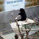A small bear hangs out in the zoo in Ayacucho.