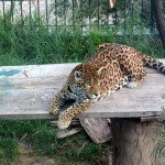 A leopard at the zoo in Ayacucho.
