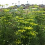 Lots of dill growing in the garden during the summer season!