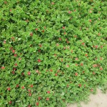 A common ground cover in Peru (Aptenia cordifolia), which comes in many colors.