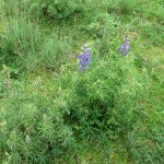 Lupine flowers are commonly seen around Cusco this time of year.