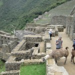 Machu Picchu llamas enjoying some lunch; tourists enjoy llamas.