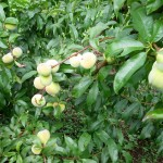 Peaches on Margarita's farm, several weeks before harvest.