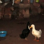The family pets at Lea's home  include two ducks.