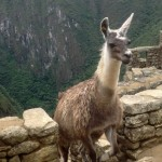 A llama emerges from his (or her) climb up the hillside.