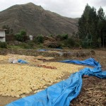 Corn drying at the trout farm.