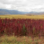 More quinoa - many varieties, many colors.