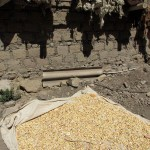 Drying corn for later use.