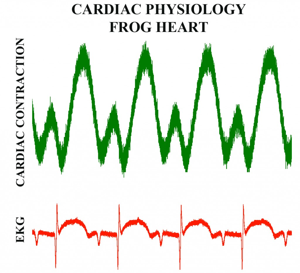 FROG CARDIAC PHYSIOLOGY