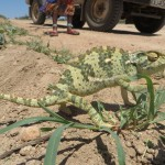 A chameleon crossed the road on our way to Nata.