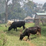 Some of the bulls and cows that live on the farm.